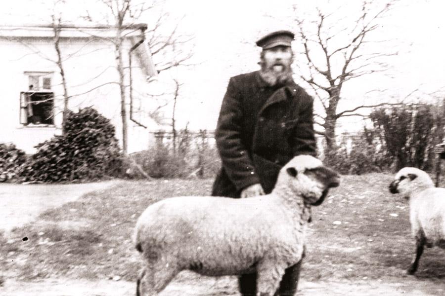 Племенные овцы Щербатовской фермы